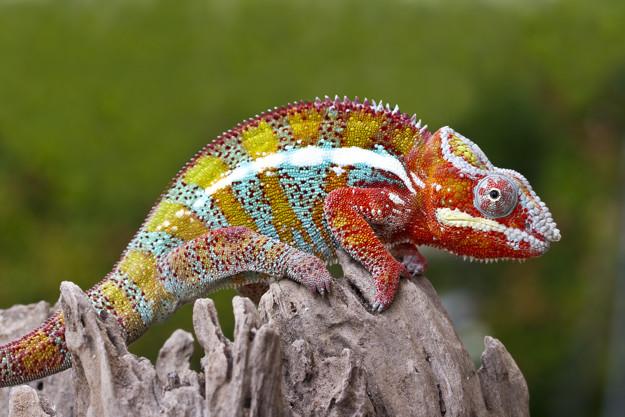 Mimikri Adalah